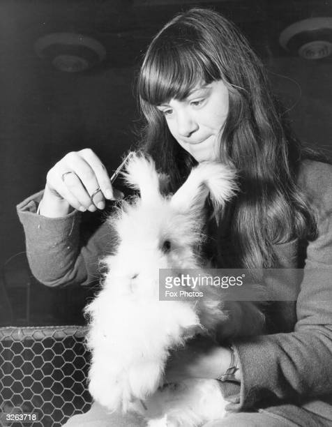 A Whipsnade Zoo hostess trimming the long ears of one of the Angora Rabbits in the childrens zoo