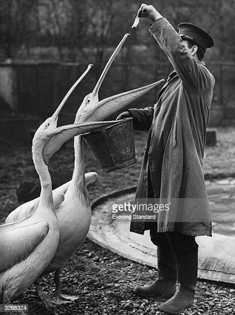 A keeper at London Zoo feeds the pelicans reduced rations due to the war