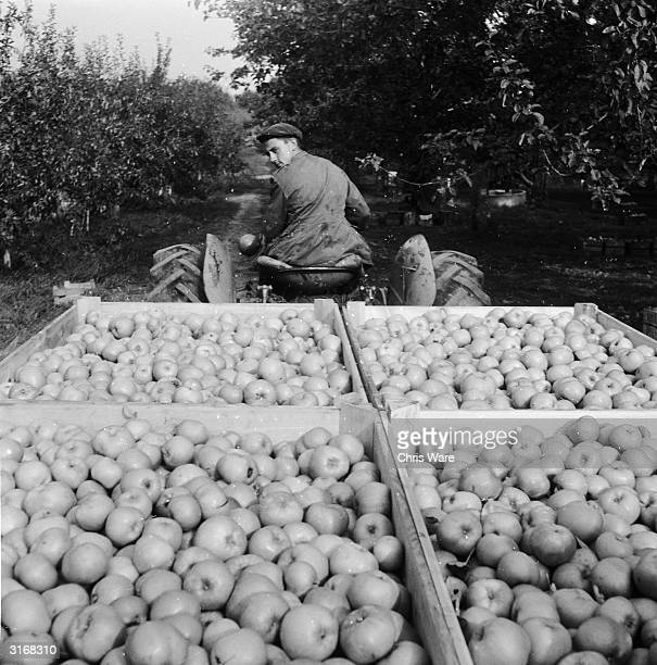 A tractor loaded with bulk boxes of Bramley cooking apples makes its way to the packing sheds at Merrick's Farm in Icklesham East Sussex