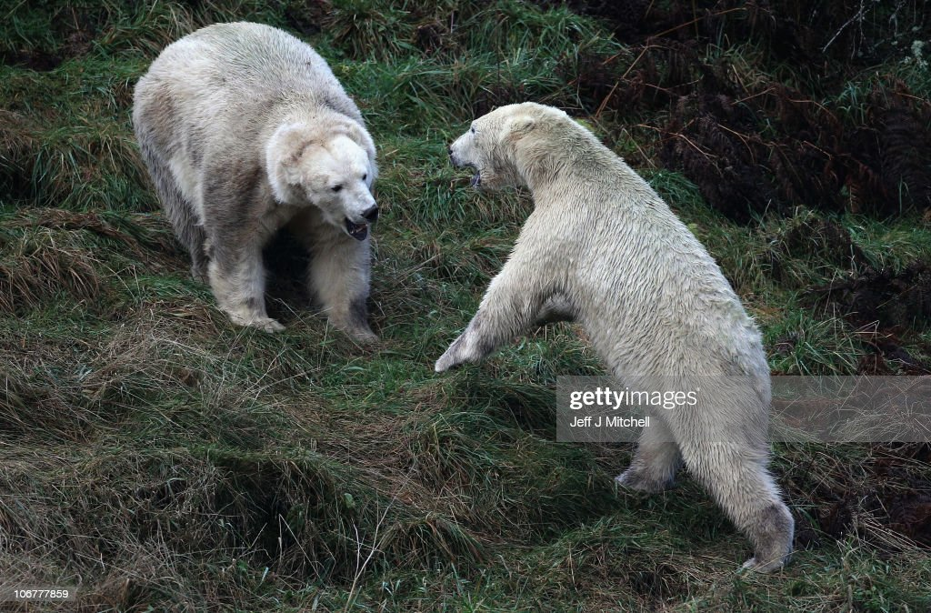 23-month-old Walker, the new polar bear at Highland Wildlife Park gets to meet with 30-year-old Mercedes (L) for the first time on November 12, 2010 in Kingussie, Scotland. The bears were both released today into the 4 acre main enclosure which will be their home.