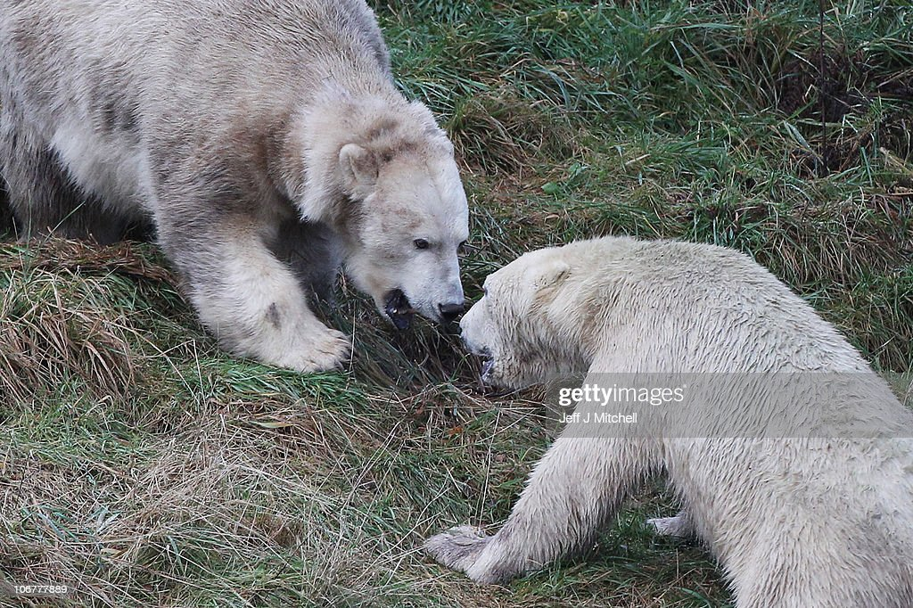 23-month-old Walker the new polar bear at Highland Wildlife Park gets to meet with 30-year-old Mercedes (L) for the first time on November 12, 2010 in Kingussie, Scotland. The bears were both released today into the 4 acre main enclosure which will be their home.