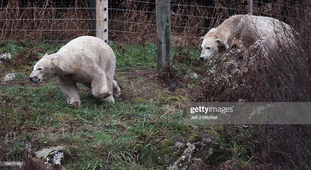23-month-old Walker (L) the new polar bear at Highland Wildlife Park gets to meet with 30-year-old Mercedes for the first time on November 12, 2010 in Kingussie, Scotland. The bears were both released today into the 4 acre main enclosure which will be their home.