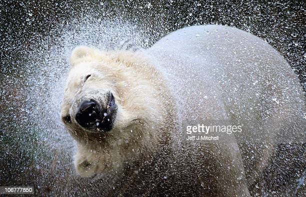23monthold Walker the new polar bear at Highland Wildlife Park has a swim before meeting with 30yearold Mercedes for the first time on November 12...