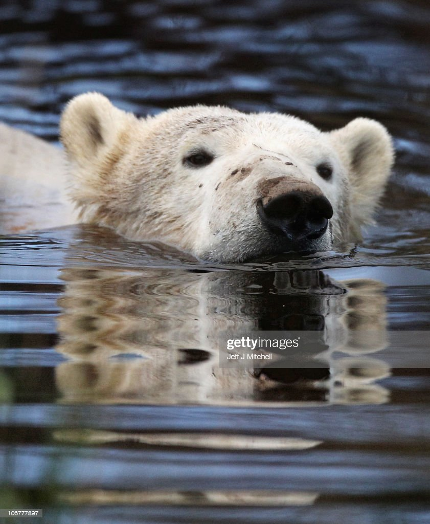 23-month-old Walker the new polar bear at Highland Wildlife Park has a swim before meeting with 30-year-old Mercedes for the first time on November 12, 2010 in Kingussie, Scotland. The bears were both released today into the 4 acre main enclosure which will be their home..