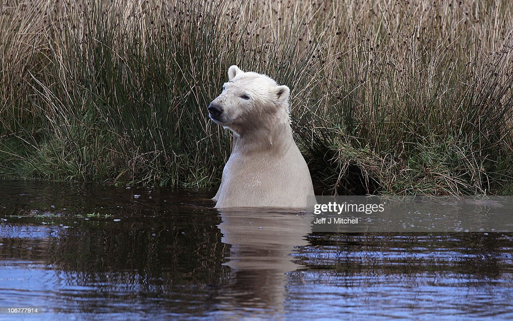 23-month-old Walker, the new polar bear at Highland Wildlife Park has a swim before meeting with 30-year-old Mercedes for the first time on November 12, 2010 in Kingussie, Scotland. The bears were both released today into the 4 acre main enclosure which will be their home..