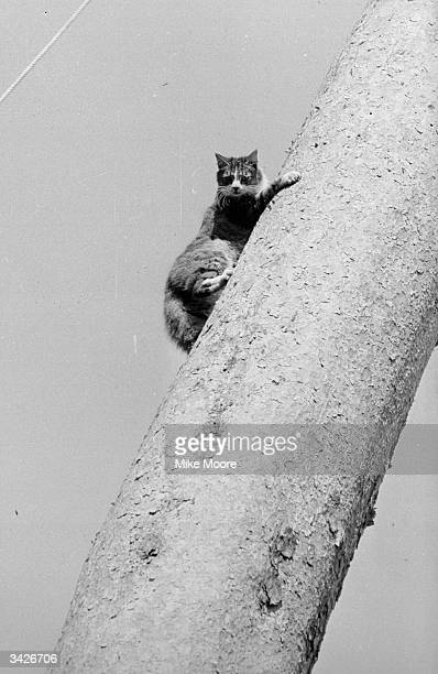 A cat up a tree at Iver Heath Buckinghamshire
