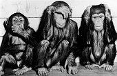 Chimpanzees at Hagenbeck Zoo in Germany imitate the sculpture of the three wise monkeys Speak No Evil See No Evil Hear No Evil