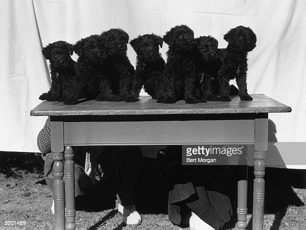 EXCLUSIVE Portrait of seven Kerry blue terrier puppies sitting in a row on top of a table in front of a white sheet backdrop while a man and a woman...