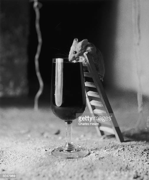 A mouse is tempted to climb a miniature ladder for a sip of sherry in a wine cellar at Jerez in Spain Original Publication Picture Post 6734 Sherry...