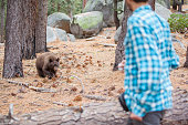 27-years-old man, tourist,  filming the young wild Black american bear in the forest in Yosemite National Park. California, USA, North America