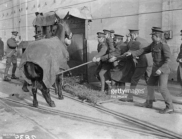 A reluctant mule being encouraged to enter his travelling crate as the 2nd battalion of the Coldstream guards embark for China at Southampton