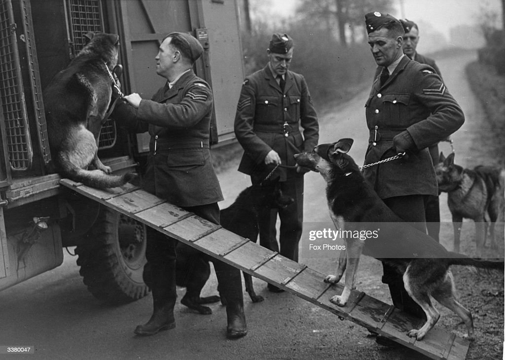 German Shepherd dogs being loaded into a van by their RAF handlers. They are used to sniff out people buried in bombing attacks.