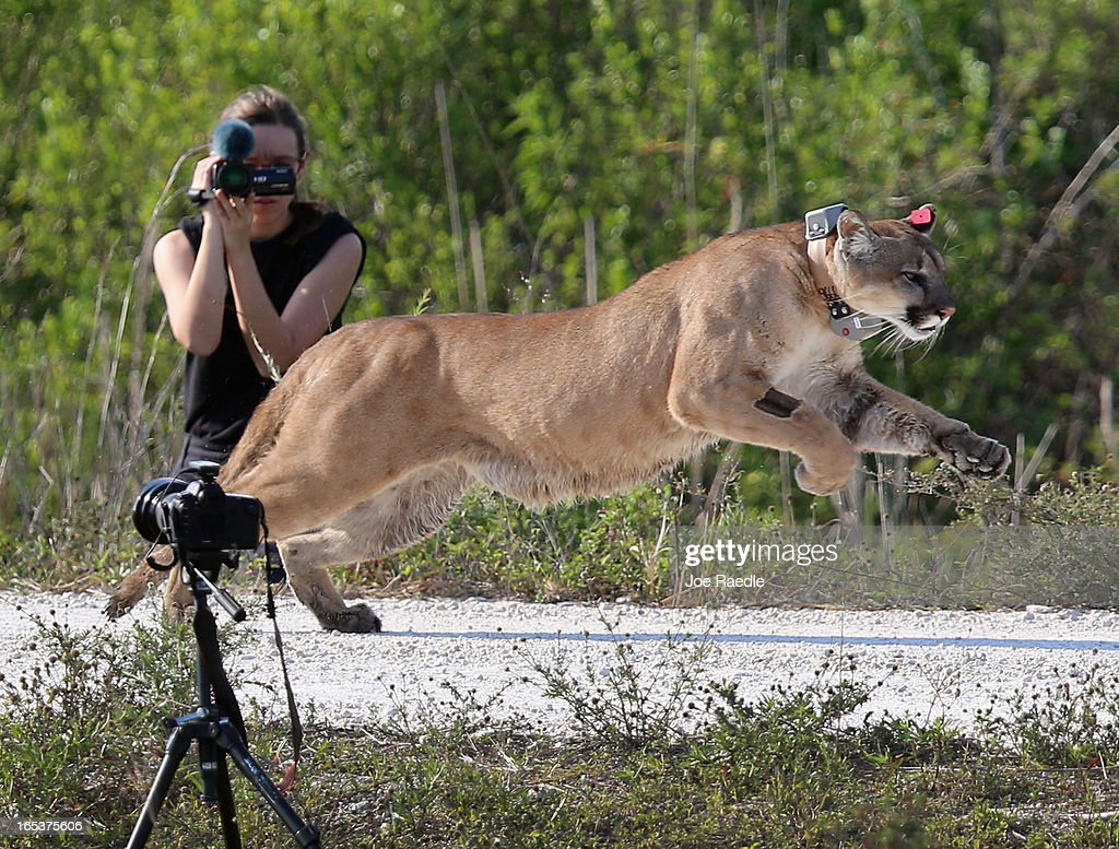 A 2-year-old Florida panther is released into the wild by the Florida Fish and Wildlife Conservation Commission (FWC) on April 3, 2013 in West Palm Beach, Florida. The panther and its sister had been raised at the White Oak Conservation Center since they were 5 months old. The FWC rescued the two panthers as kittens in September 2011 in northern Collier County after their mother was found dead. The panther is healthy and has grown to a size that should prepare him for life in the wild.