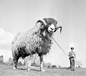 The ram mascot of the Sherwood Foresters soon to be made redundant following the new army cuts A trick of perspective makes the ram appear like a...