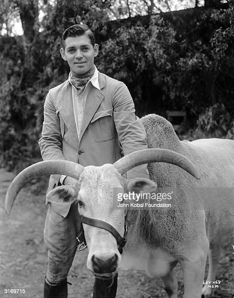 American actor Clark Gable with a water buffalo during a break in the filming of 'Red Dust'