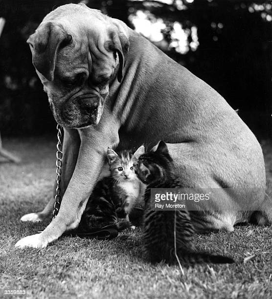 A boxer dog stares benignly at his feline friends