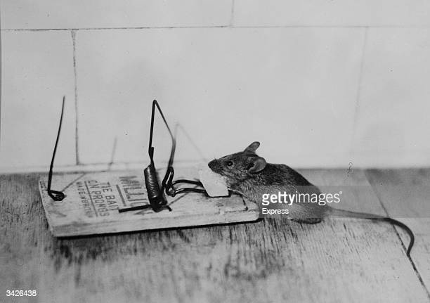 A hungry mouse nibbling at some cheese sets off a deadly mousetrap