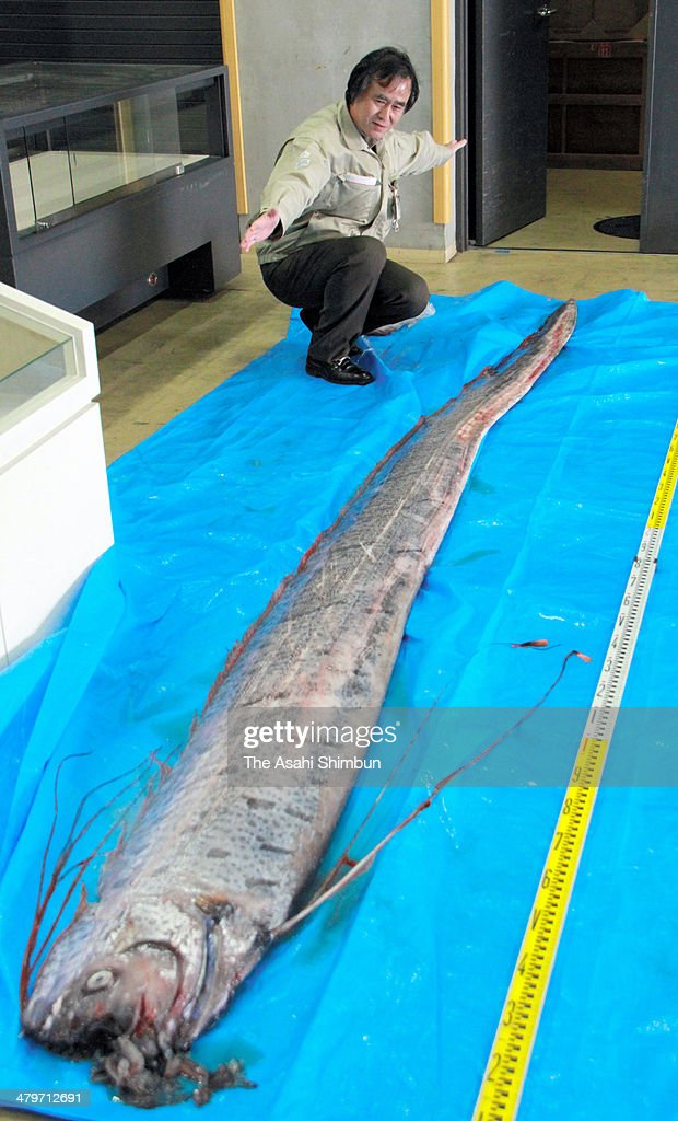 A 3.2-meter-long giant oarfish, found at Wakamatsu beach is displayed at the Kitakyushu Museum of Nattural History and Human History on March 19, 2014 in Kitakyushu, Fukuoka, Japan.