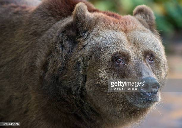 32year old brown bear sow Schnute strolls around in her enclosure at the Koellnische Park Berlin Germany on October 31 2013 Since the death of her...