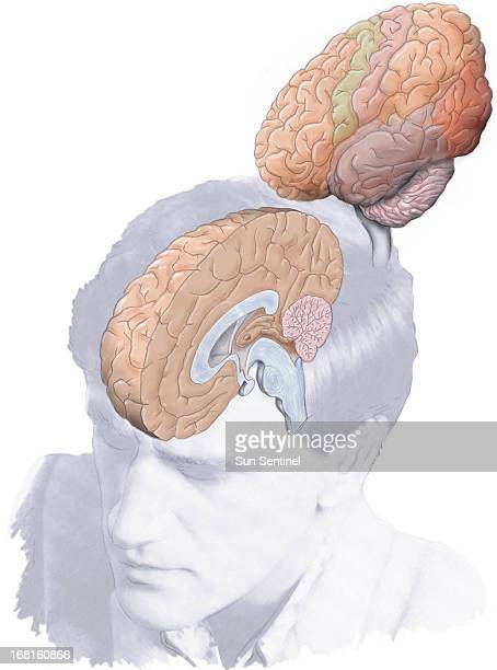 39p x 52p R Scott Horner color illustration of left right halves of human brain Sun Sentinel /MCT via Getty Images