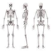 3d human skeleton on white background