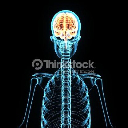 3d Illustration Brain And Skeleton Anatomy Stock Photo Thinkstock