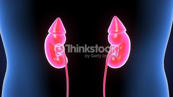 3d Abbildung Frauenkörper Menschlichen Nieren Anatomie Stock-Foto ...
