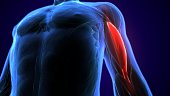 The biceps, also biceps brachii  is a large muscle that lies on the front of the upper arm between the shoulder and the elbow. Both heads of the muscle arise on the scapula and join to form a single m