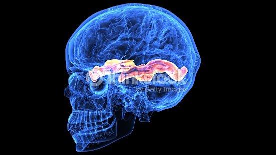 3d Abbildung Des Menschlichen Körperteilen Gehirn Anatomie Stock ...