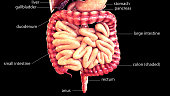 The human digestive system consists of the gastrointestinal tract plus the accessory organs of digestion (the tongue, salivary glands, pancreas, liver, and gallbladder