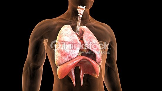 3d illustration of human body lungs anatomy foto de stock thinkstock 3d illustration of human body lungs anatomy foto de stock ccuart Choice Image