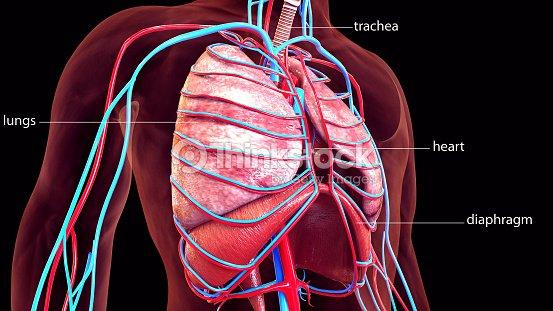 Ilustración 3d De La Anatomía De Los Pulmones Del Cuerpo Humano Foto ...