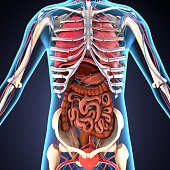 The human body is the entire structure of a human being. It is composed of many different types of cells that together create tissues and subsequently organ systems. They ensure homeostasis and the vi
