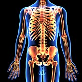 The human skeleton is the internal framework of the body. It is composed of around  bones at birth – this total decreases to around 206 bones by adulthood after some bones get fused togetherThe bone m