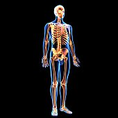 The human skeleton is the internal framework of the body. It is composed of around 270 bones at birth – this total decreases to around 206 bones by adulthood after some bones get fused together.The bo