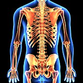 The human skeleton is the internal framework of the body. It is composed of around 270 bones at birth – this total decreases to around 206 bones by adulthood after some bones get fused together.
