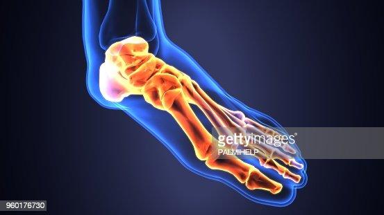 Anatomie Du Pied 3D illustration 3d danatomie osseuse pied squelette humain photo