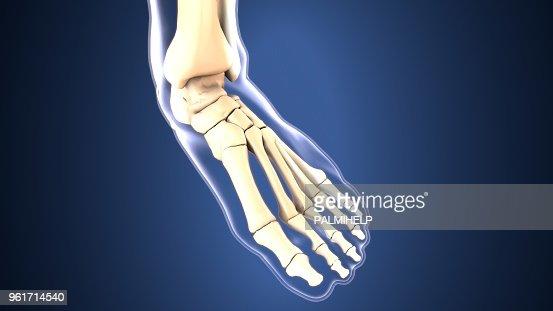 Anatomie Du Pied 3D illustration 3d danatomie osseuse pied squelette photo   thinkstock