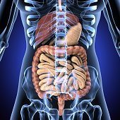 The human digestive system consists of the gastrointestinal tract plus the accessory organs of digestion . In this system, the process of digestion has many stages, the first of which starts in the mo