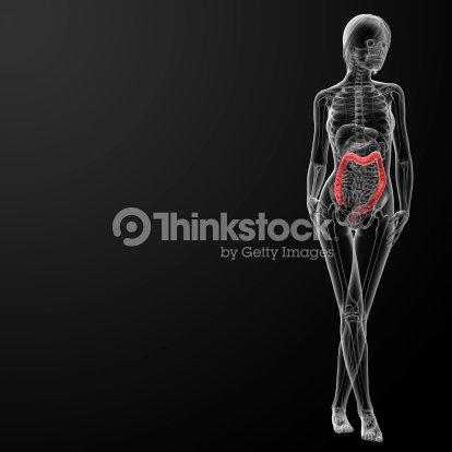3d Render Female Anatomy Large Intestine Stock Photo Thinkstock