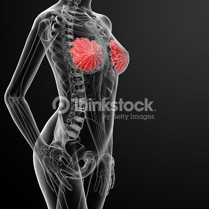 Renderizado 3d De Mama Femenino De Anatomía De Rayos X Foto de stock ...