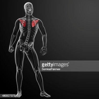 3d render illustration scapula bone : Bildbanksbilder