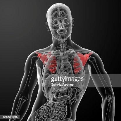 3d render illustration scapula bone : Stock Photo