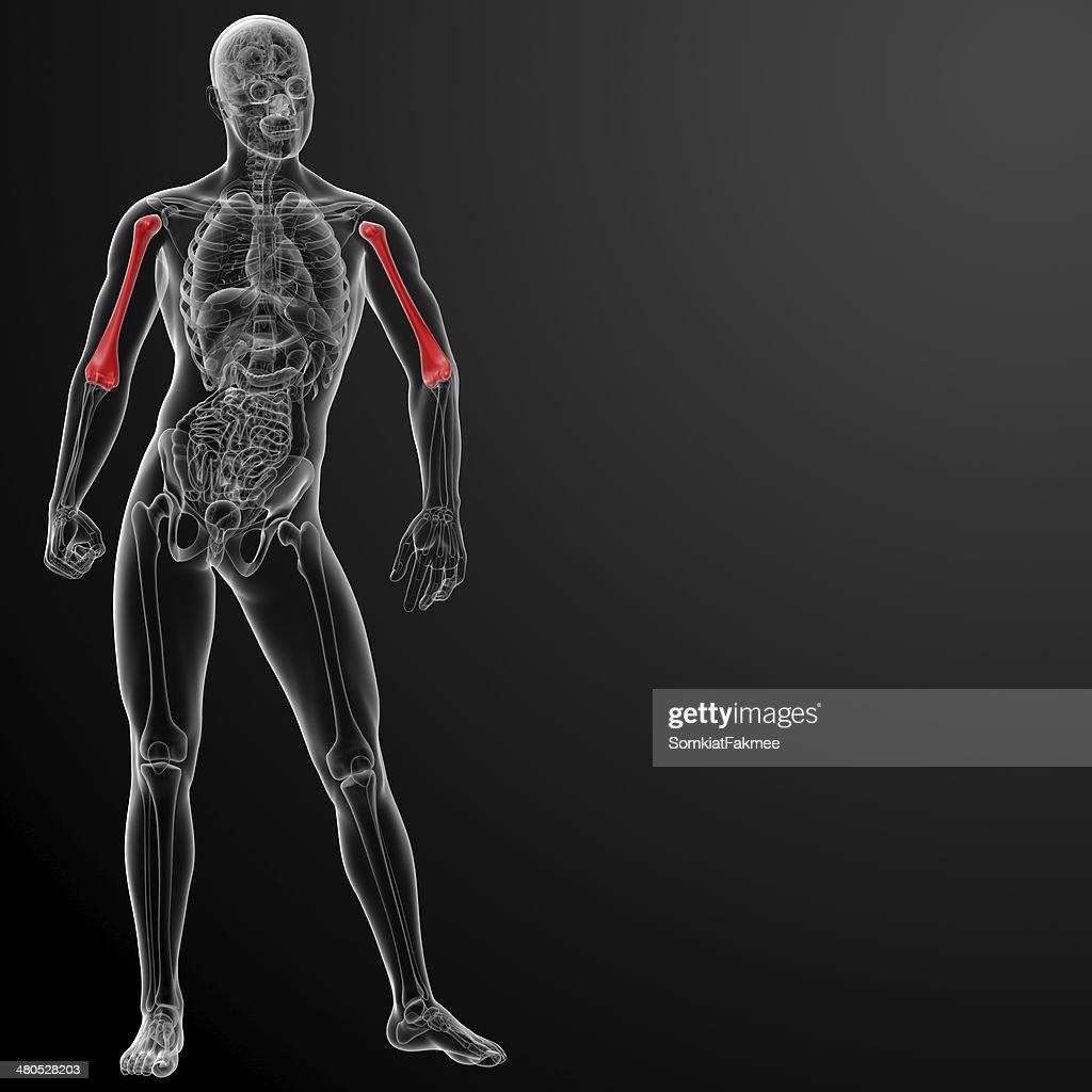 3 d aus Oberarmknochen bone : Stock-Foto