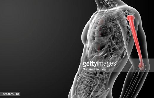 3d rendered humerus bone : Stockfoto