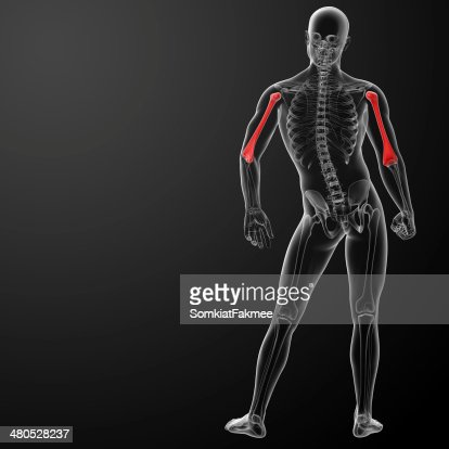3d rendered humerus bone : Stock Photo