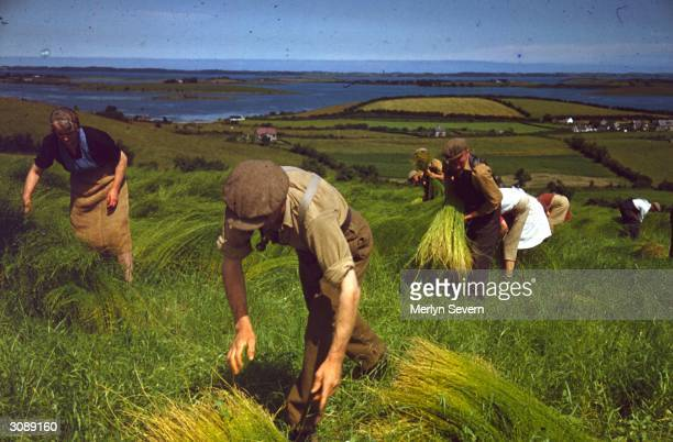 Agricultural workers harvesting the flax to make linen at Killinchy in County Down Northern Ireland Original Publication Picture Post 4584 Irish...