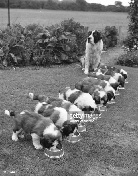 A line of nine St Bernard puppies eating from their bowls as their mother Christon St Margerite watches over them at Clare Bradley's Kennels in Aston...