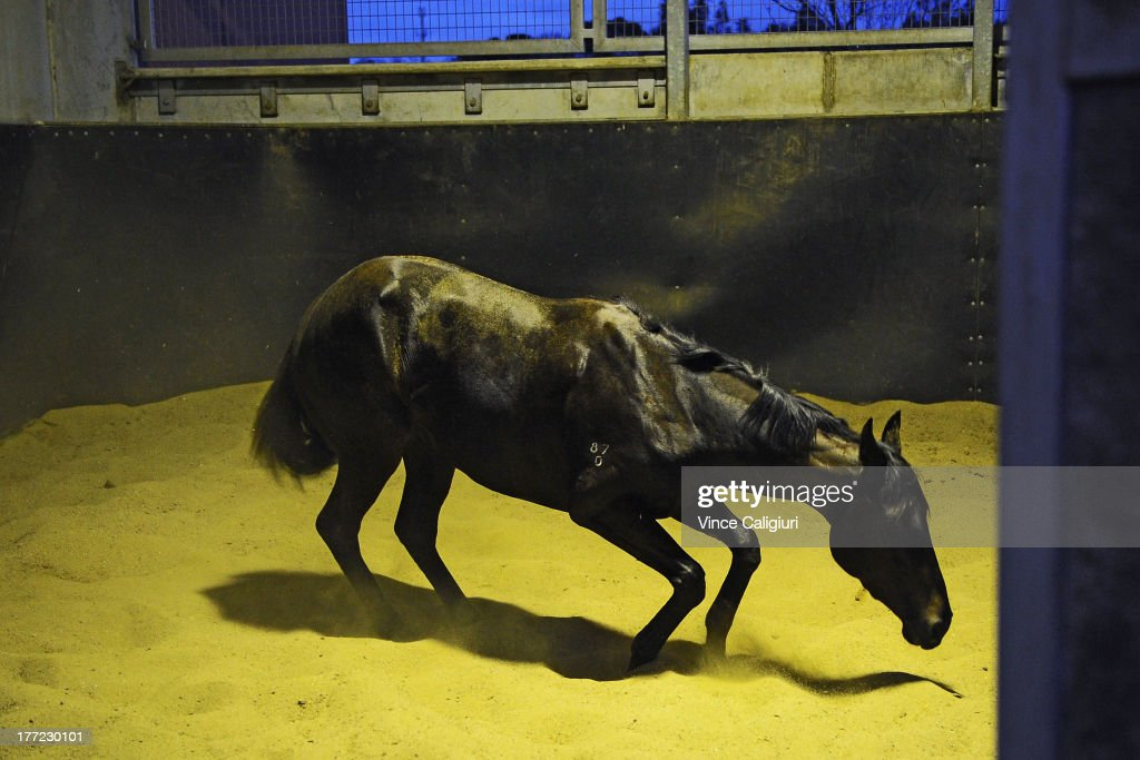 3yr old Gregers from the David Hayes stable enjoys a roll in the sand after a Flemington trackwork session at Flemington Racecourse on August 23, 2013 in Melbourne, Australia.