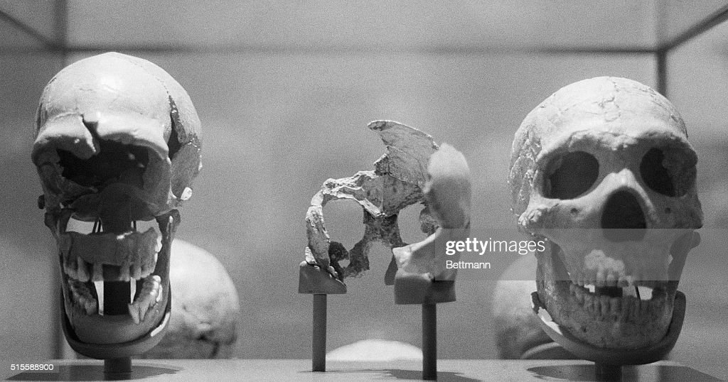 4/12/1984New York NY An exhibit of fossils tracing man's evolution from a catsize treedwelling ape to an upright bigbrained toolmaker opens today...